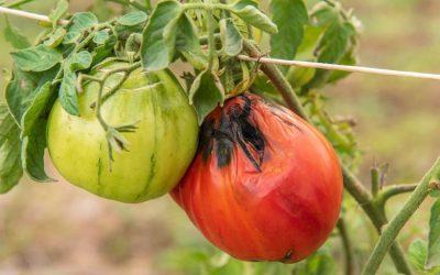 Le virus des tomates et des piments s'intensifie